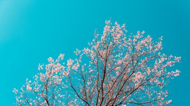 Bloeiende prunus cerasoides roze bloemen op de boom met blauwe hemel.