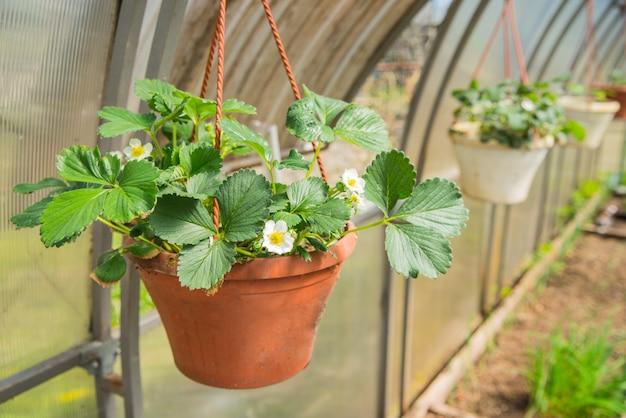 Bloeiende remontant aardbeien in hangende mand zonder bessen in de kas in het voorjaar