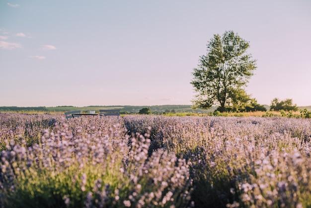 Bloeiende rijen lavendelveld bij zonsondergang