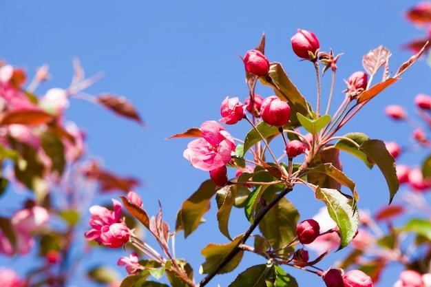 Bloeiende rode kers in de lente