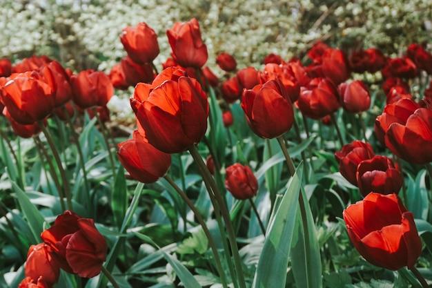Bloeiende rode tulpen in het veld