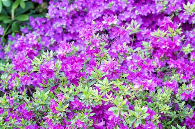 Bloeiende rododendron in de botanische tuin