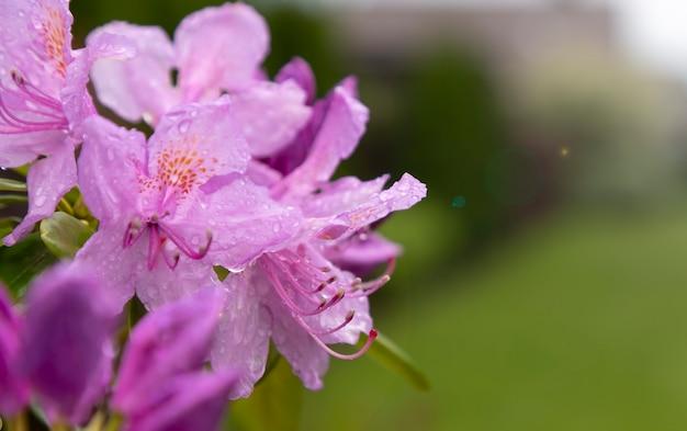 Bloeiende rododendron-tak op een onscherpe achtergrond