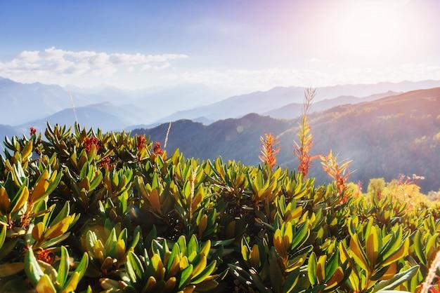 Bloeiende rododendronbloemen in de bergen van de kaukasus. boven-svane
