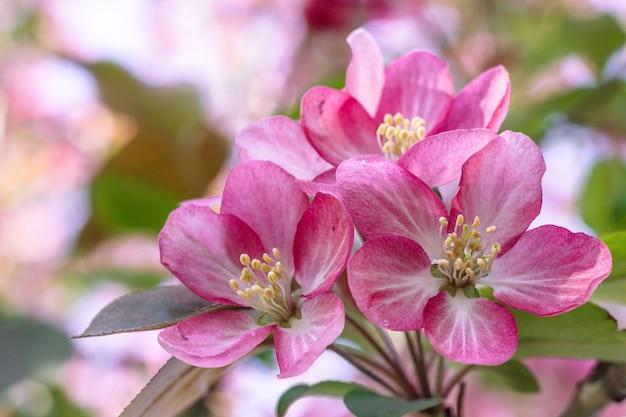 Bloeiende roze appelboom