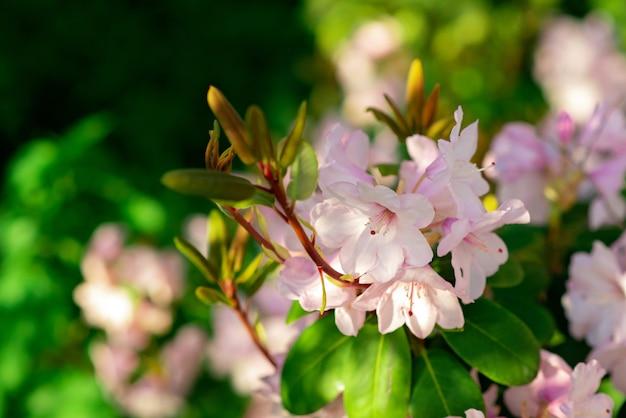 Bloeiende roze azalea in de tuin op een zonnige zomerdag