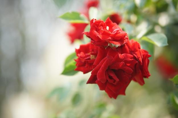 Bloeiende roze bloem in bloei in tuinpark