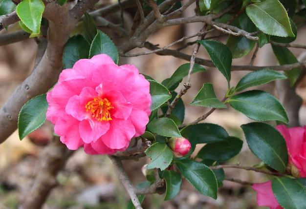Bloeiende roze camellia-bloem in het tuinpark.