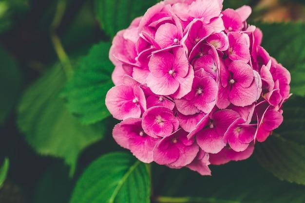 Bloeiende roze hortensia of hortensia achtergrond. lente- of zomertuin. close-up, selectieve aandacht, humeurig beeld