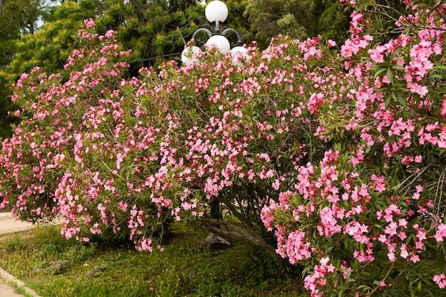 Bloeiende roze oleander bloemen of nerium in de tuin. selectieve aandacht. ruimte kopiëren. bloesem lente, exotische zomer, zonnig vrouwendag concept