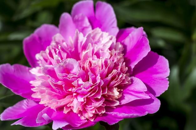 Bloeiende roze pioen in de tuin.