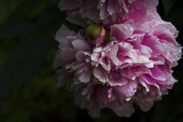 Bloeiende roze pioen in het donker