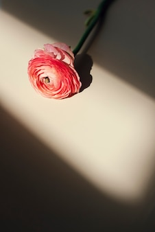 Bloeiende roze ranonkelbloem