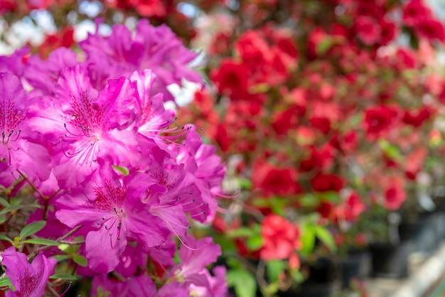 Bloeiende roze rododendron (azalea), close-up, selectieve aandacht, exemplaarruimte.