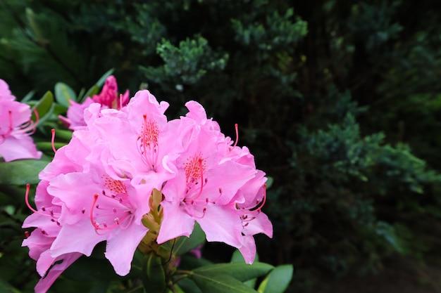 Bloeiende roze rododendron bloem in de lente tuinieren concept bloem achtergrond