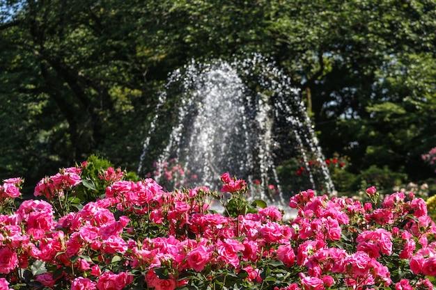 Bloeiende roze rozen uit tuinpark