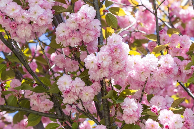 Bloeiende roze sakura. blauwe lucht. detailopname