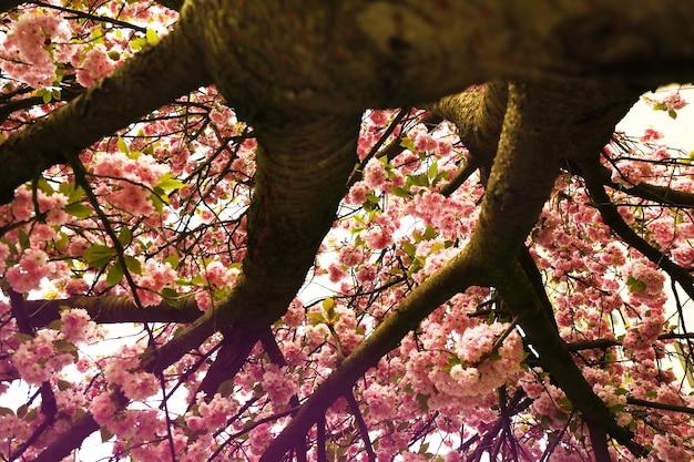 Bloeiende roze sakuraboom op straat