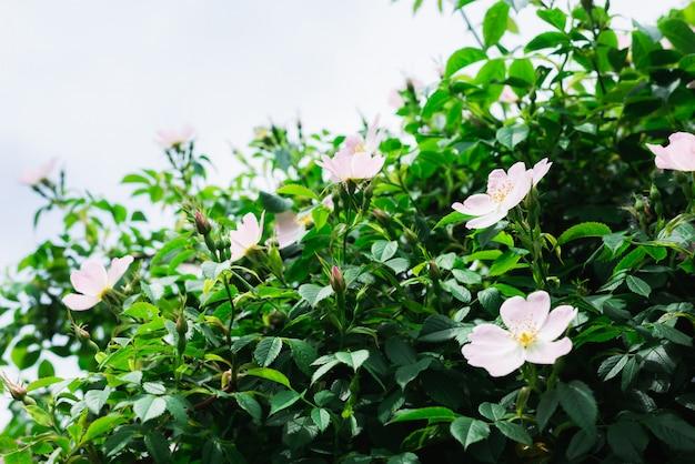 Bloeiende rozenbottel