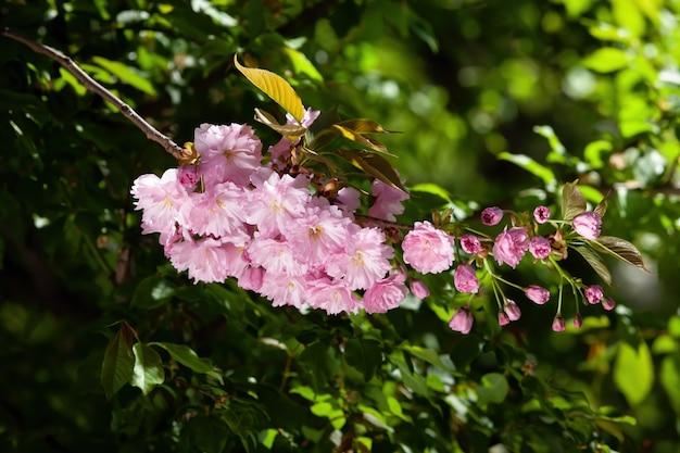 Bloeiende sakura boom en natuur achtergrond. close-up kersenbloesem sakura in de lente.
