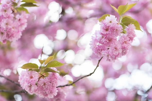 Bloeiende sakura boomtak.