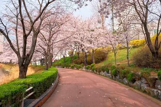 Bloeiende sakura kersenbloesem steegje in park