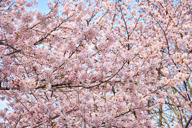 Bloeiende sakura kersenbloesem