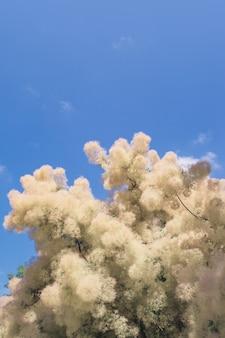 Bloeiende scumpia smoke trees op een achtergrond van blauwe lucht