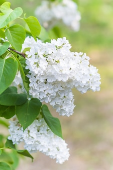Bloeiende sering in de botanische tuin