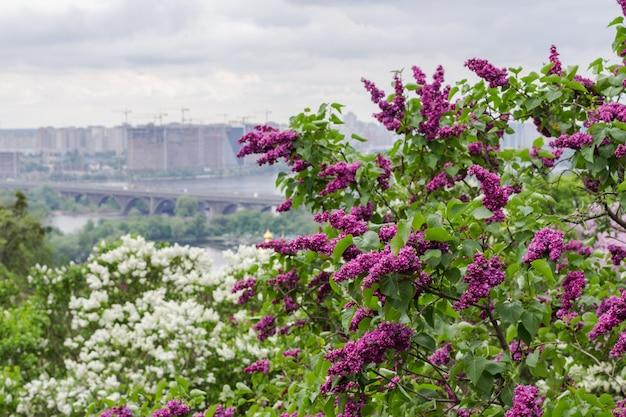 Bloeiende seringen en stadsgezicht op de achtergrond. grijze lucht