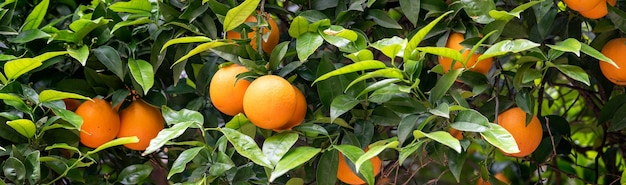 Bloeiende sinaasappeltuin in valencia. spanje