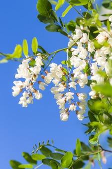 Bloeiende sprinkhaan in de tuin
