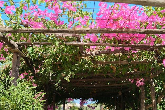 Bloeiende struik roze bougainvillea met roze bloemen, achtergrondhemel, houten decoratieve steunen. toerisme, middellandse zee, reizen