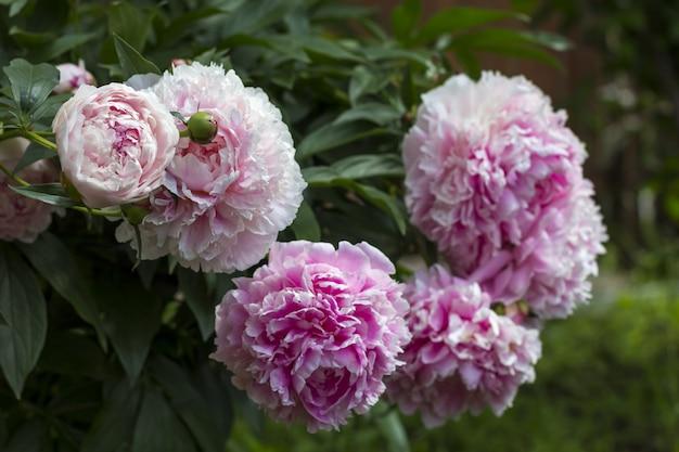 Bloeiende struik roze pioenen in de tuin.