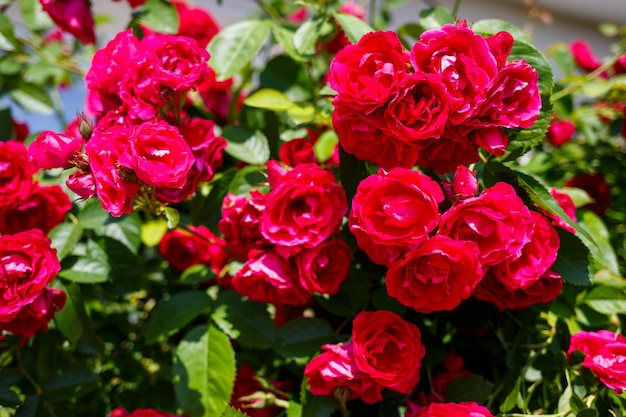 Bloeiende struik van roze rozen op een zonnige dag