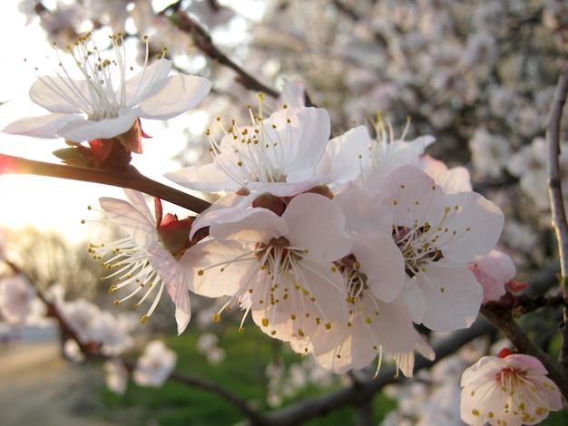 Bloeiende tak heel wat witte bloemen dicht omhoog