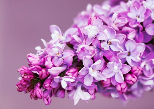 Bloeiende tak paarse badstof lila bloem bloemen achtergrond