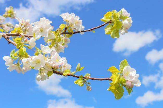 Bloeiende tak van appel in het voorjaar tegen de blauwe hemel