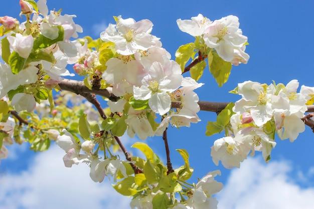 Bloeiende tak van appelboom in het voorjaar tegen de blauwe hemel