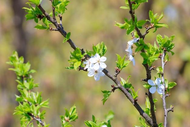 Bloeiende tak van een kersenboom in het voorjaar