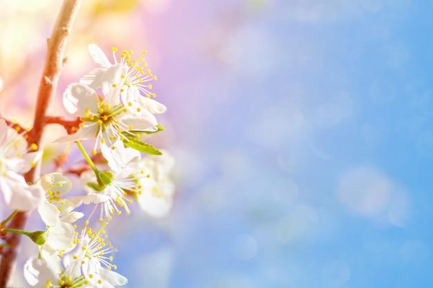 Bloeiende tak van een kersenboom, natuur, lentebloesem, delicate hoofdbloemen en blauwe lucht met zonlicht. lente. kopieer ruimte.