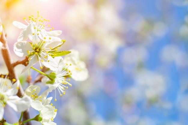Bloeiende tak van een kersenboom, natuur, vroege voorjaarsbloei, delicate bloemenkop en lucht met zonlicht. lente.