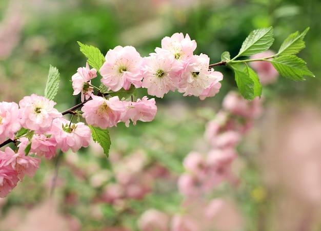 Bloeiende tak van een roze amandelstruik op een lentedag, geselecteerde scherpte