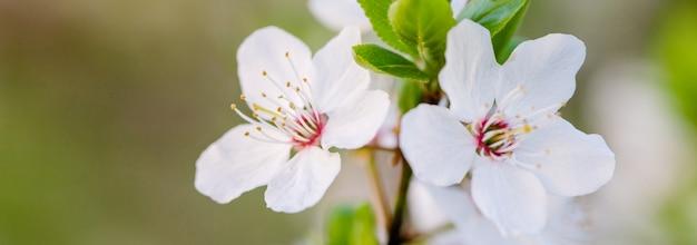 Bloeiende tak van fruitboom. kers bloeide in de lente. veel witte bloemen bloeien op een fruitboomtak.