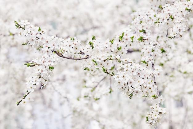Bloeiende tak van fruitboom. lente.