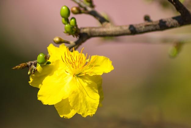 Bloeiende tak van gele abrikoos