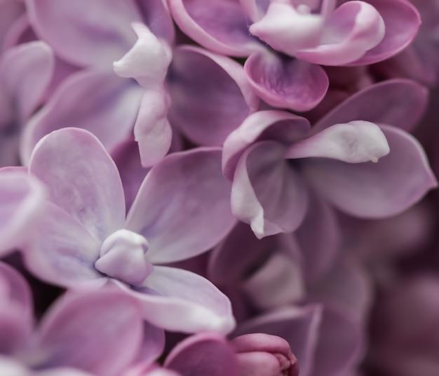 Bloeiende tak van paarse badstof lila in het voorjaar