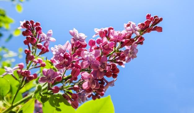 Bloeiende tak van sering op een achtergrond van blauwe lucht in de lentetuin
