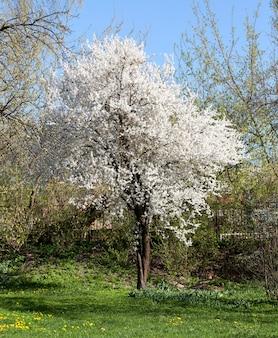 Bloeiende takken van fruitbomen met witte bloemen in de lente