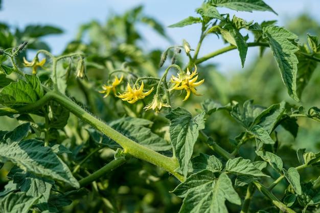 Bloeiende tomatenclose-up bij de zomergebied het gezonde eten